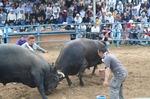 bull01s.jpg